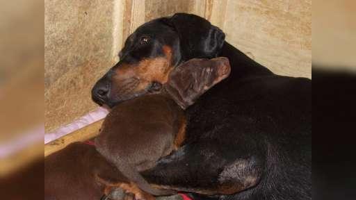 Dobermann - top working puppies with FCI Pedigree - Dobermann (143)