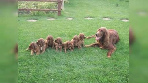 Irish red setter  puppies for sale - Irish Red Setter (120)