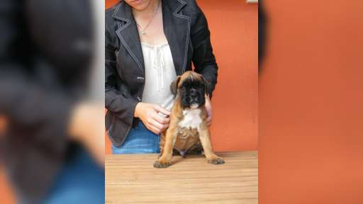 Fawn boxer puppies for sale - German Boxer (144)