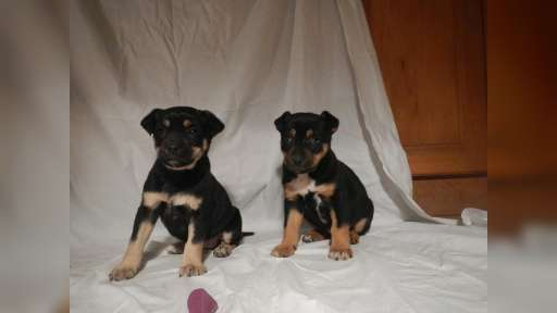 Puppies - Crossbreed