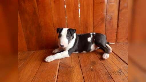 BULLTERRIER, BULLTERIER, BULTERIER - Bull Terrier (011)