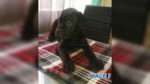 Cane Corso - Italian Corso Dog (343)