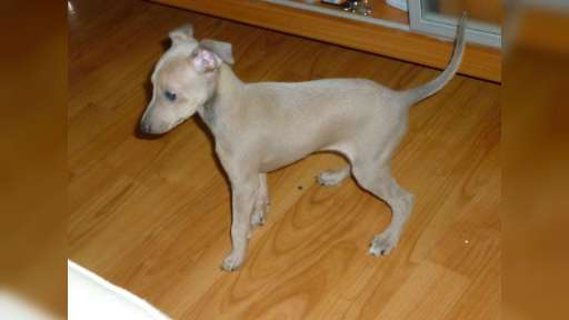 Italian greyhound, puppy, female, isabelle col. - Italian Greyhound (200)