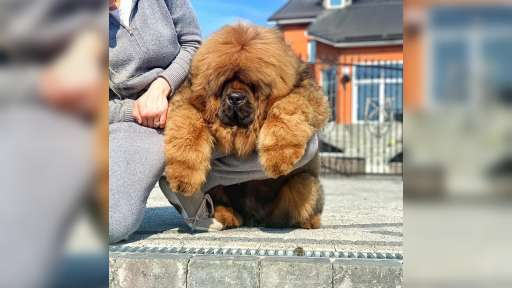 Dogs of your dream - Tibetan Mastiff (230)
