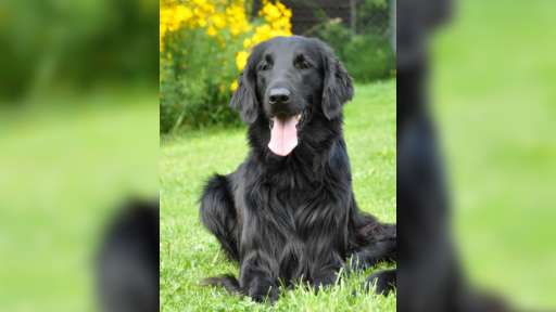 Flat coated retriever s PP black puppy - Flat Coated Retriever (121)