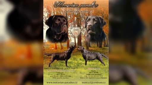 Labrador retriever chocolate puppies for sale, very promising - Labrador Retriever (122)