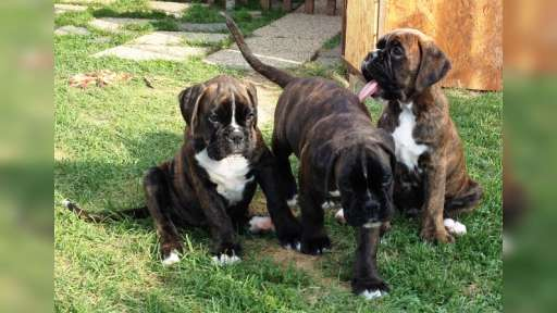German boxer puppies, F:Big Boss Signum Laudis - German Boxer (144)