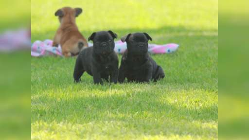 French bulldog puppies for sale - French Bulldog (101)