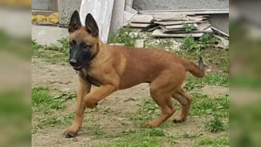 Belgian Shepherd Malinois puppies for sale - Belgian Shepherd Dog (015)