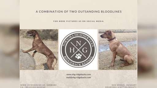Rhodesian Ridgeback Puppies - Rhodesian Ridgeback (146)