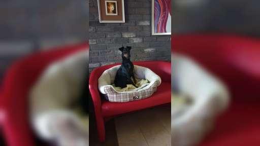 Manchester terrier - Manchesterský teriér (071)