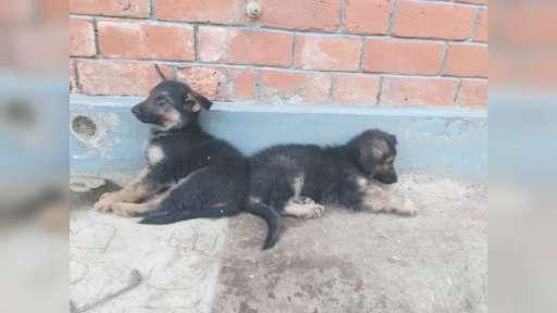 German shepherd for sale - German Shepherd Dog (166)