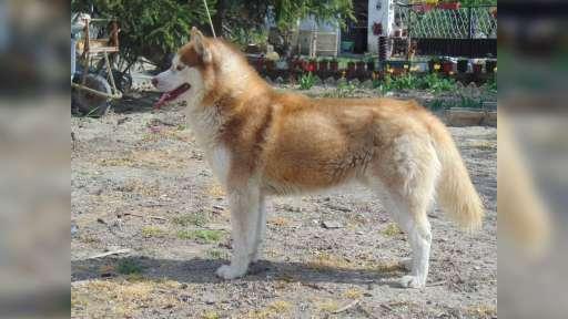 Siberian Husky puppies reservations - Siberian Husky (270)