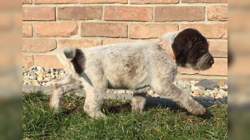 Spinone Italiano puppies - Italian Wire-Haired Pointing Dog - Spinone (165)