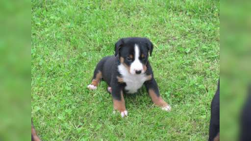 Beautifull puppies of Appenzeller - Appenzell Cattle Dog (046)