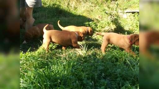 Dogue de Bordeaux puppies - Dogue de Bordeaux (116)