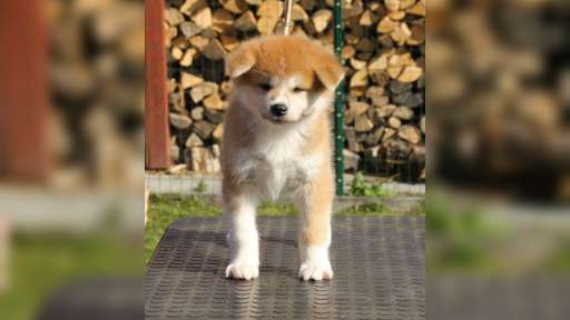 Akita puppy - Akita (255)