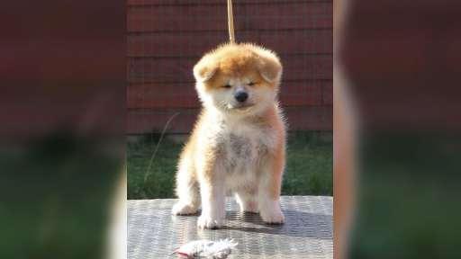 Akita puppies for sale from CZ (Damukara Kennel) - Akita (255)