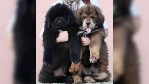 Tibetan Matiff - Tibetan Mastiff (230)