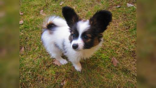 papillon pp - Continental Toy Spaniel (077)
