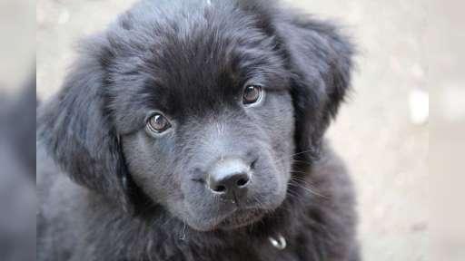 Newfoundland dog - Newfoundland (050)
