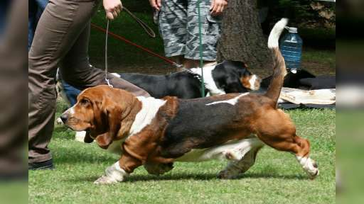 Basset hound - Basset Hound (163)