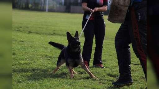 German shepherd female for sale - working line! - German Shepherd Dog (166)