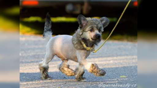 Haires Chinese crestend dog for sale (male) - Chinese Crested Dog (288)