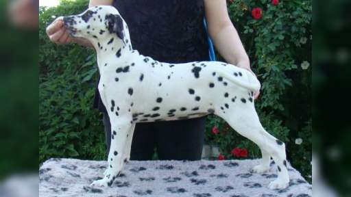 Dalmatian - puppies available - Dalmatian (153)