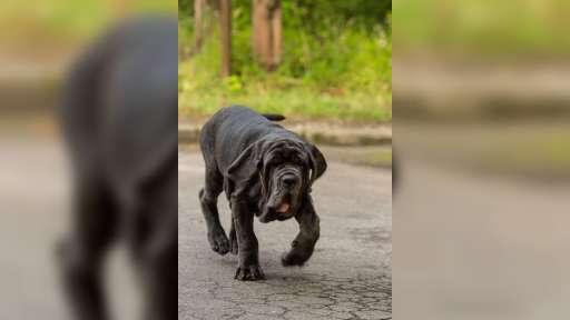 Mastino napoletano  - Mastiff (264)