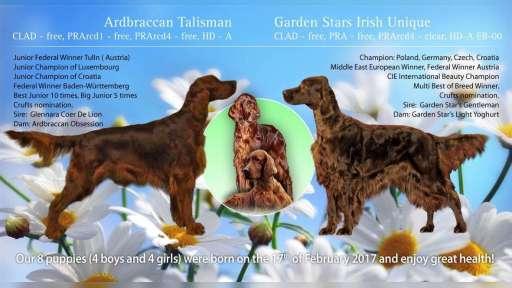 Irish red setter puppies - Irish Red Setter (120)