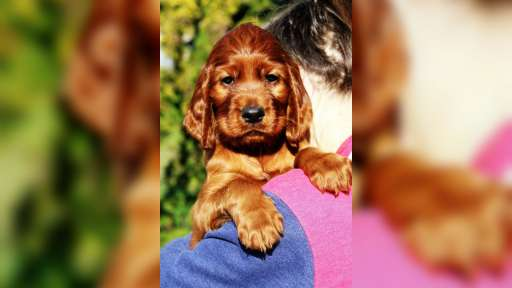 Irish red setter puppies - Irish Red Setter (120)