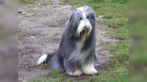Bearded collie puppies - Bearded Collie (271)