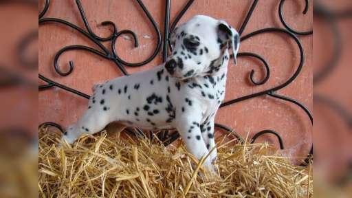 Dalmatian puppies (FCI) - Dalmatian (153)