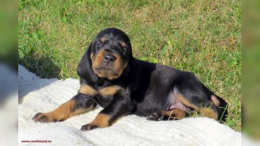 Black and Tan Coonhound puppies - Black and Tan Coonhound (300)
