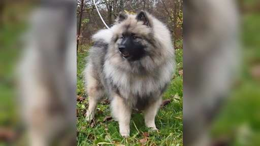 Keeshond puppies for sale - pedigree FCI - German Spitz (097)