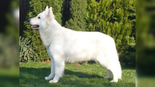 White Swiss Shepherd from Fci pedigree - White Swiss Shepherd Dog (347)