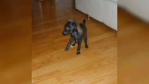 Italian Greyhound with pedigree FCI - Italian Greyhound (200)