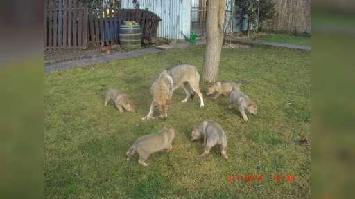 Československý vlčiak puppies - Czechoslovakian Wolfdog (332)