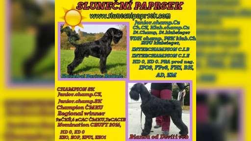 Giant schnauzer black puppies - Giant Schnauzer (181)