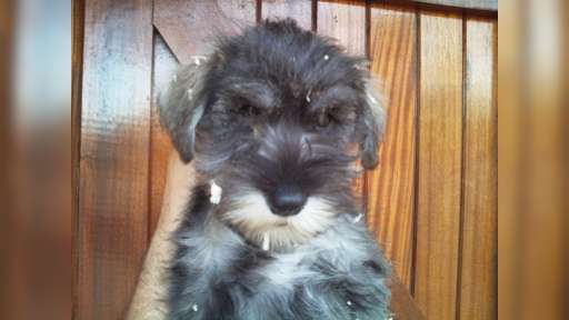 Minature schnauzer puppies - Crossbreed