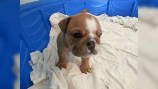 Adorable English Bulldog AKC registered puppies $500 - Bulldog (149)