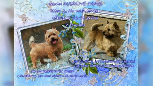 Norwich terrier - pupies with pedigree - Norwich Terrier (072)