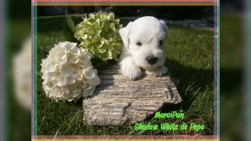White miniature schnauzer. Lovely Puppies - Schnauzer (182)
