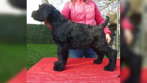 Knírač velký černý s PP-štěně - Giant Schnauzer (181)