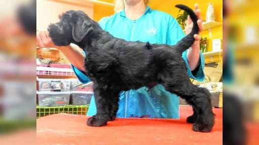 Knírač velký černý s PP-štěně - Schnauzer (182)