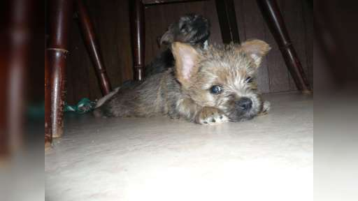 Cairn terier (puppies for sale) - Cairn Terrier (004)