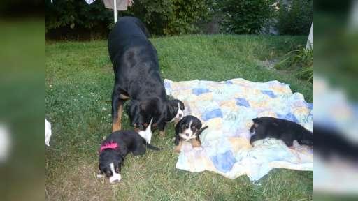 Great Swiss Mountain Dog - Great Swiss Mountain Dog (058)