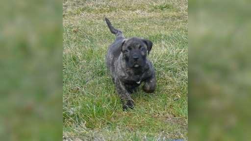 Kanárská doga-Perro de presa canario - Dogo Canario (346)