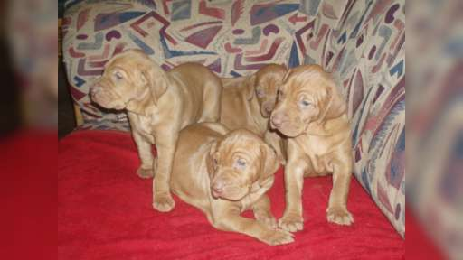 HUNGARIAN VIZSLA PUPPIES FOR SALE - Hungarian Short-Haired Pointing Dog (057)